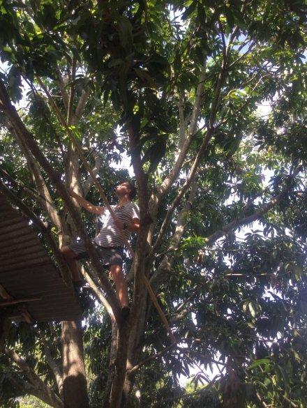 mango plukken