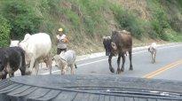 koeien met lange oren