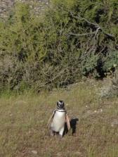 Eerste pinguin gespot.